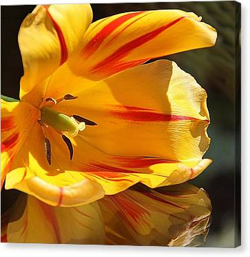 Tulip Reflections Canvas Print by  Andrea Lazar