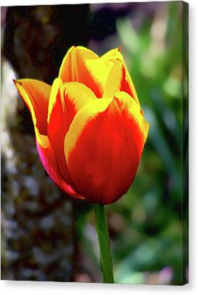 Canvas Print featuring the photograph Tulip by Ron Roberts