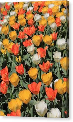 Tulip Stretch Canvas Print