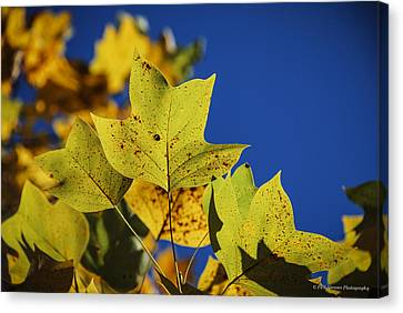 Canvas Print featuring the photograph Tulip Tree In Autumn by Phil Abrams