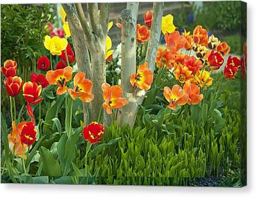Tulip (tulipa Sp.) Canvas Print by Science Photo Library