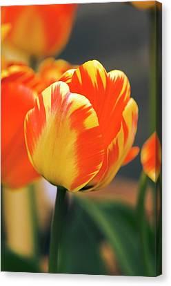 Perennial Canvas Print - Tulipa 'banja Luka' Flower by Adrian Thomas