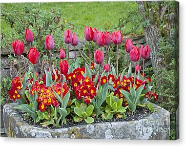 Tulipa 'couleur Cardinal' And Primula Sp Canvas Print by Carol Casselden