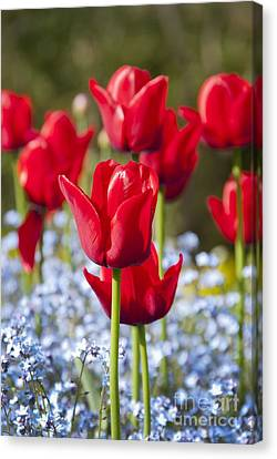 Spring Bulbs Canvas Print - Tulipa 'ile De France' And Myosotis Sp by Carol Casselden