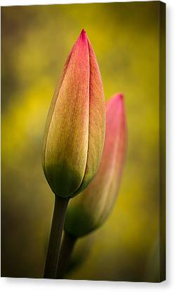 Tulips 1a Canvas Print by Peter Scott