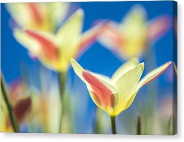Tulips And Blue Sky Canvas Print