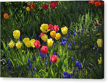 Tulips And Grape Hyacinths Canvas Print