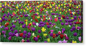 Tulips At Wooden Shoe Tulip Farm Canvas Print by Panoramic Images