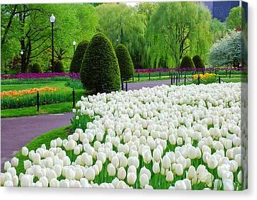 Tulips Boston Public Gardens  Canvas Print by Michael Hubley