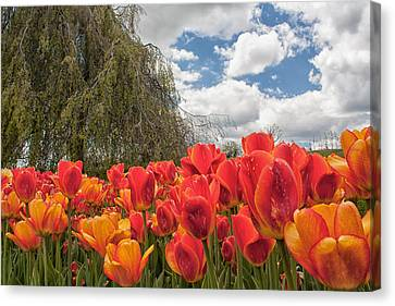 Tulips Canvas Print by Brian Caldwell