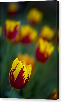 Tulips Canvas Print by Chevy Fleet