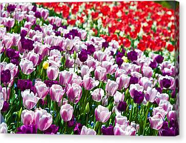 Tulips Field Canvas Print by Sebastian Musial