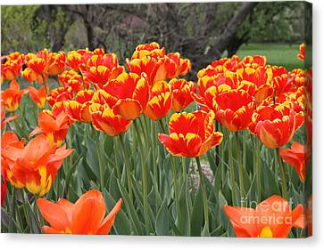 Tulips From Brooklyn Canvas Print by John Telfer