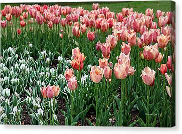 Tulips Galore  Canvas Print by Suzanne Gaff
