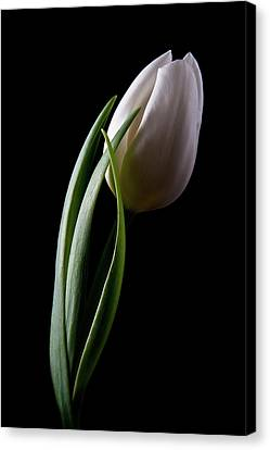 Tulips IIi Canvas Print by Tom Mc Nemar