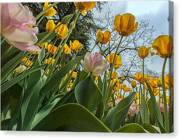 Tulips In Bloom Canvas Print by Rick Berk
