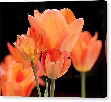 Tulips In Shades Of Orange Canvas Print by Rona Black