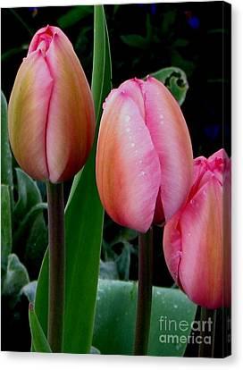 Tulips Canvas Print by Judyann Matthews