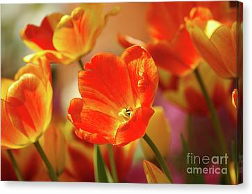Tulips Canvas Print by Kathleen Struckle