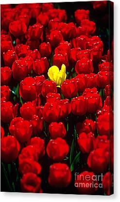 Tulips Canvas Print by Kees Van Den Berg