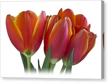 Tulips Canvas Print by Mariola Szeliga