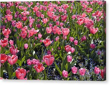 Tulips Canvas Print by Matthias Hauser