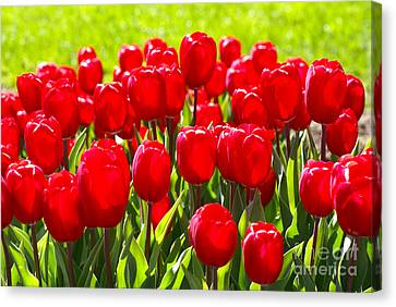 Tulips Canvas Print by Nur Roy
