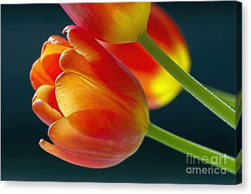 Tulips On Black 2a Canvas Print by Sharon Talson