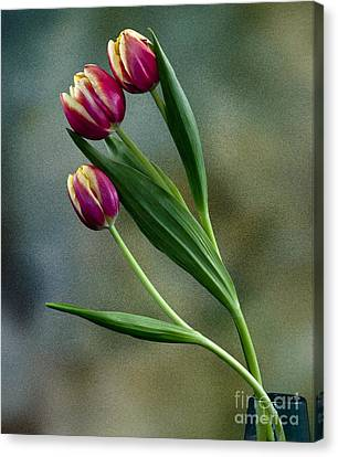 Canvas Print featuring the photograph Tulips by Shirley Mangini