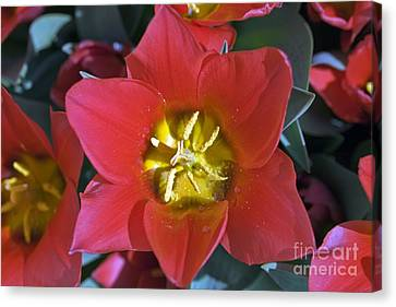 Spring Bulbs Canvas Print - Tulips (tulipa 'sonbrero') by Dr Keith Wheeler