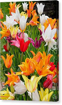 Canvas Print featuring the photograph Tulips Tulips by Haleh Mahbod