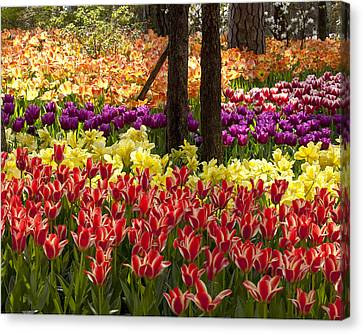 Tulips Tulips Tulips Canvas Print by Robert Camp