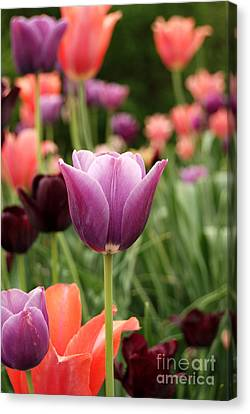 Tulips Welcome Spring Canvas Print