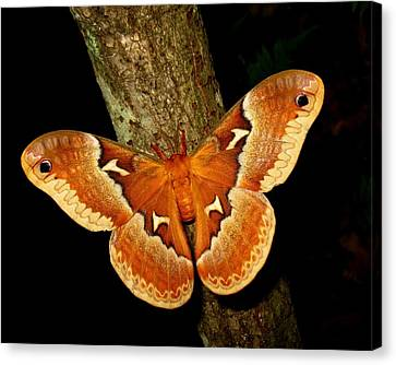 Tuliptree Silkmoth Canvas Print by William Tanneberger