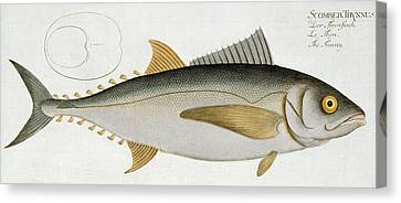 Tuna Canvas Print by Andreas Ludwig Kruger