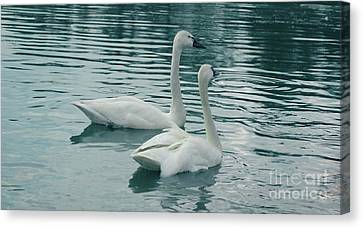 Tundra Swans Canvas Print by Kathleen Struckle