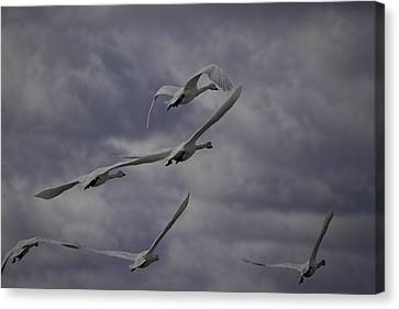 Tundra Swans Taking Flight 1 Canvas Print by Thomas Young