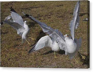 Flying Seagull Canvas Print - Tuned by Betsy Knapp
