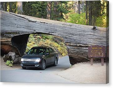 Tunnel Log A Fallen Giant Redwood Canvas Print by Ashley Cooper