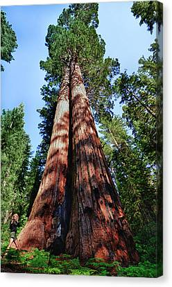 Tuolumne Grove, Yosemite National Park Canvas Print