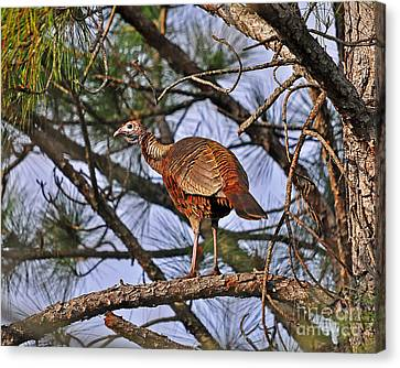 Turkey In A Tree Canvas Print by Al Powell Photography USA