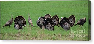 Turkey Mating Ritual Canvas Print by Cheryl Baxter