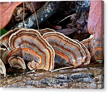 Turkey Tail Fungi In Autumn Canvas Print