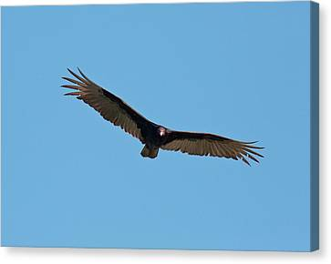 Turkey Vulture (cathartes Aura) In Flight Canvas Print by Bob Gibbons