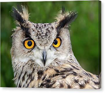 Turkmenien Eagle Owl Canvas Print by Nigel Downer