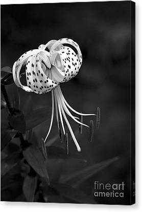 Turk's Cap Lily In Black And White Canvas Print