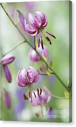 Turks Cap Lily Canvas Print by Tim Gainey