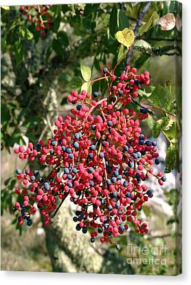 South Of France Canvas Print - Turpentine Fruit (pistacia Terebinthus) by Martyn F. Chillmaid