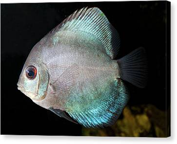 Turquoise Discus Canvas Print by Nigel Downer