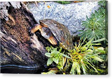 Canvas Print featuring the photograph Turtle 1 by Dawn Eshelman